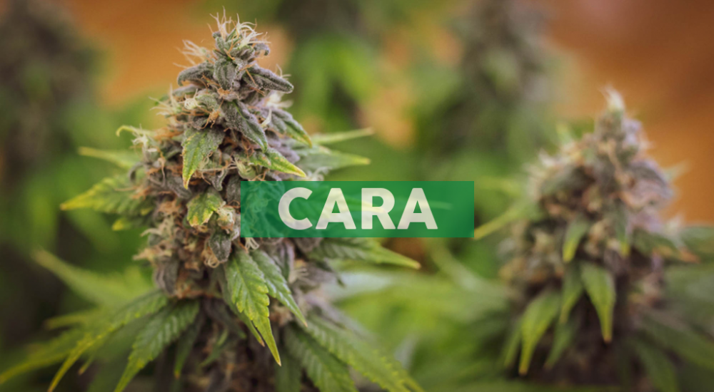 Cara Therapeutics Announces Positive Topline Data From Phase 2 Trial of Oral KORSUVA™ in Chronic Kidney Disease Patients with Moderate-to-Severe Pruritus