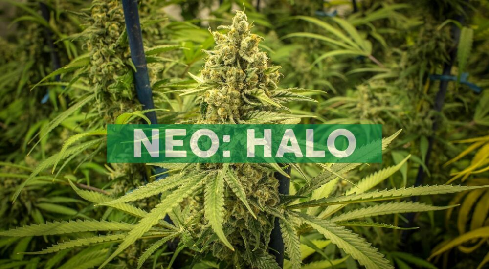 Papa's Herb® Enters the Oregon Market Through Halo Collective